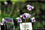 蔦に小さな紫の花を付ける ヘデラケア
