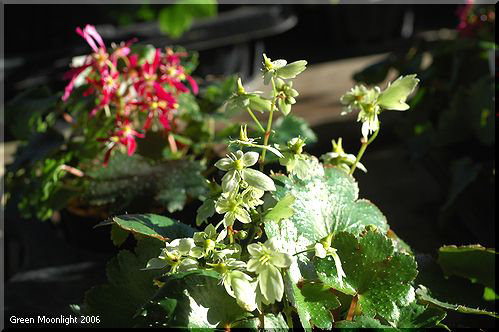 秋 多彩な花を咲かせる ダイモンジソウ