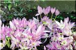 いきなり、花芽を出して咲く コルチカム