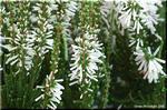いろいろ探してみたい多彩な花 エリカ