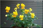 芳香の強い 黄花系パンジー