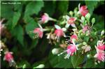 ユニークな花を咲かせる フクシャ