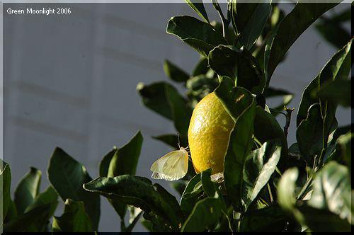 健康に良く 美味しい ウンシュウミカン(温州蜜柑)