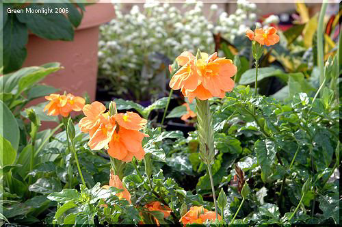 鮮やかな燃えるオレンジ色 クロサンドラ