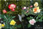 ほのかに香る 色鮮やかな 秋バラ(薔薇)