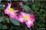 地味ながら趣深い姿で咲く花 サザンカ