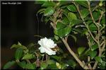 陽光に向かって八重に花開く サザンカ