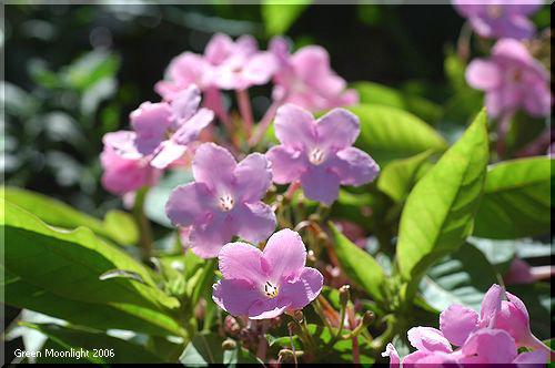 愛らしい淡い花 ルクリア(ニオイサクラ)