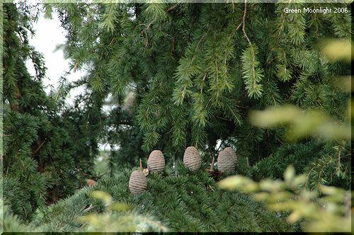 公園の秋を彩る緑葉と球果 ヒマラヤスギ