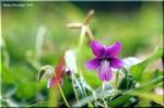 魅力的な紅の強い花 スミレの返り咲き