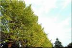 散った葉も美しい 秋の風物詩 イチョウ