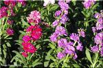 寒い時期に豪華な花を提供する ストック