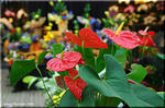 個性的な花を持つ観葉植物 アンスリウム