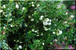 洒落た流通名「真珠の木」ペルネッティア