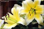 魅惑の黄色いカサブランカ コンカドール