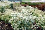 夏白くなる「初雪草」は冬枯れる一年草