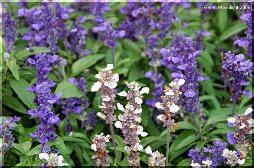 花壇を埋める 栽培しやすいファリナケア