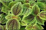 魅力的な葉 ピレア'ムーンバレー