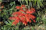 最も鮮やかな紅葉 ヤマハゼとハゼノキ