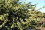 細かい緑の葉に黄金色の花 ワトル