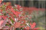 生垣を華やかに彩る レッドロビン