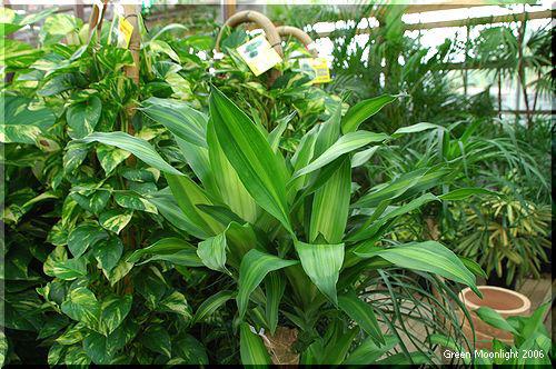 人気の高い観葉植物 ドラセナ 2品種