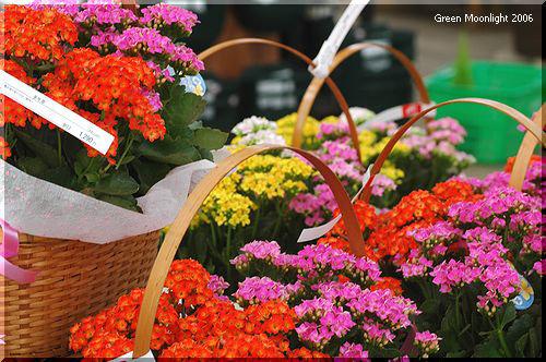 厚い緑の葉に賑やかな花 カランコエ