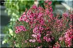 たくさんの小さな花が咲く ギョリュウバイ
