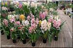 多彩で美しい シンビジューム 豪華に咲く