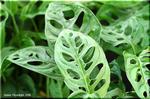 丸みのある穴が開く観葉植物 マドカズラ