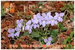 もうすぐ新しい春がやってきます! タチツボスミレ
