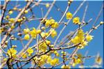 青空を背景にして黄金色に輝く ソシンロウバイ(蝋梅)