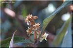 ビロード・ブラウンのコートを着た 大人しい冬の花 ビワ