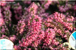 枝いっぱいに魅惑的な花を付ける エリカ・ダーレンシス