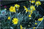 寒い時期に長く黄金色に咲き続ける ユリオプス・デージー
