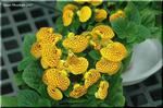 ユニークな袋状の花が楽しい カルセオラリア