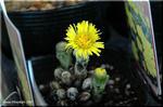 福寿草のような可愛らしい黄色い花 フキタンポポ