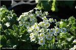明るい日差しがよく似合う 園芸種プリムラ・マラコイデス