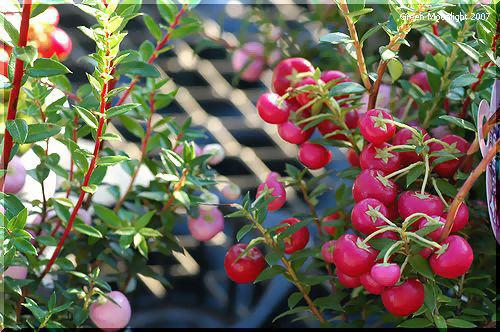 ピンクの実もかわいい「真珠の木」 ペルネッティア