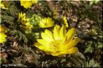 黄金色に輝くアネモネ 春告草 フクジュソウ(福寿草)