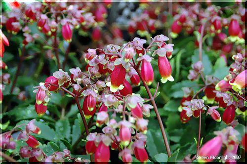 楽しい花 エンゼルランプ系カランコエ 'ウェンディ'