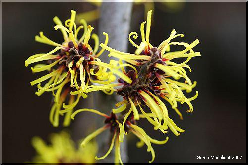 北風に舞う黄色いリボン マンサクの不思議な花
