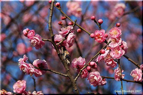 木の花は濃きも薄きも紅梅 いとめでたし