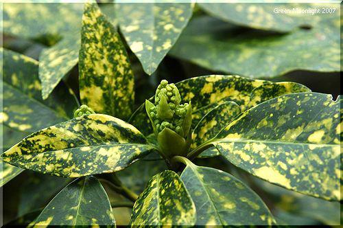 人気のある庭木 浅黄色の散り斑が入ったアオキ