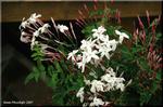 淡紅の蕾から綿白の花 爽やかな芳香 羽衣ジャスミン