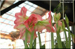豪華なイメージの大型花 球根も大きい アマリリス