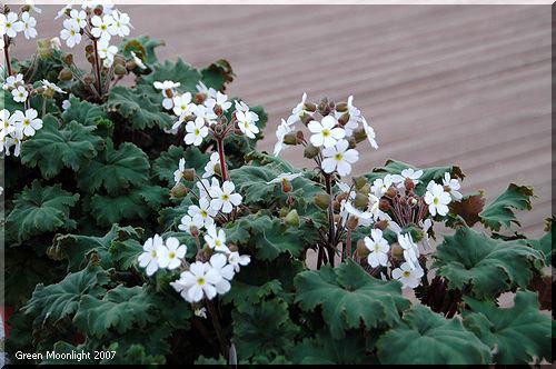 くすんだ緑色の葉 優しい印象の淡い花 雲南桜草