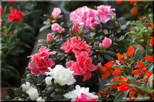 ソフトかつ鮮やか 多彩な花を咲かせるアザレア
