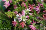 かわいらしいピンクの筒咲きエリカ リンカンヒース