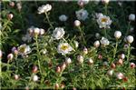 丸くて白い花が溢れる ヘリクリサム '花かんざし'
